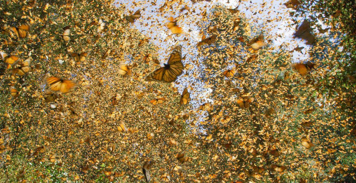spy in the wild - vlinders